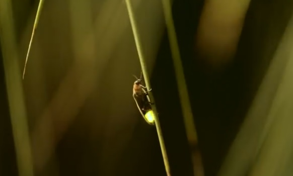 Firefly glowing on a blade of grass