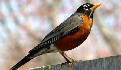 One of the first Robins of the year