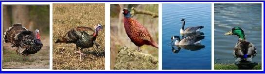Wild Turkey pheasant Canada goose and mallard duck