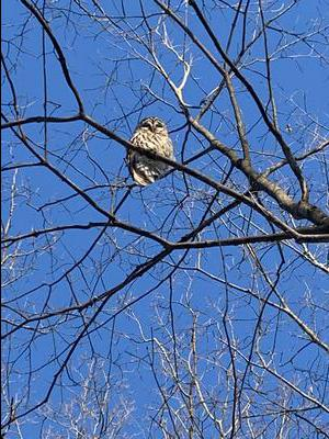 Owl in tree with blue sky in Ontario