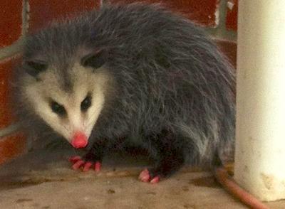 Caledon Possum