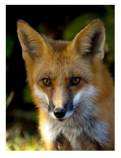 Ontario Red Fox, common in town and country, chicken stealer or misunderstood hunter - le renard