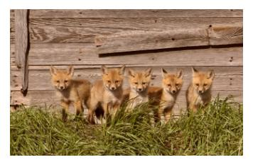 five 5 Fox cubs or Fox kits standing in the sunshine against a barnboard background - petits renards