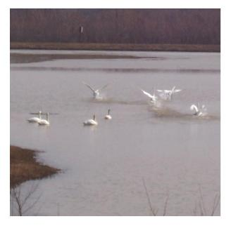 Tundra Swans - Southern Ontario, Spring Migration