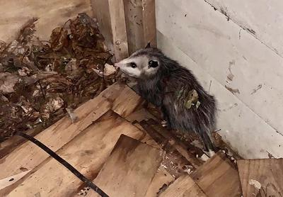 Possum in corner of the shed