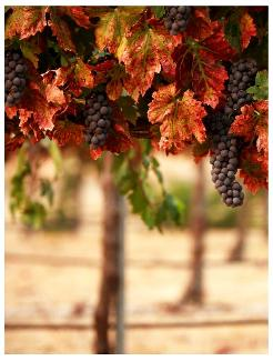 Pelee Island grape vines