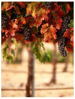 Pelee Island grape vines