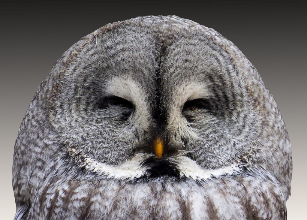 Great grey owl with eyes closed daylight close up