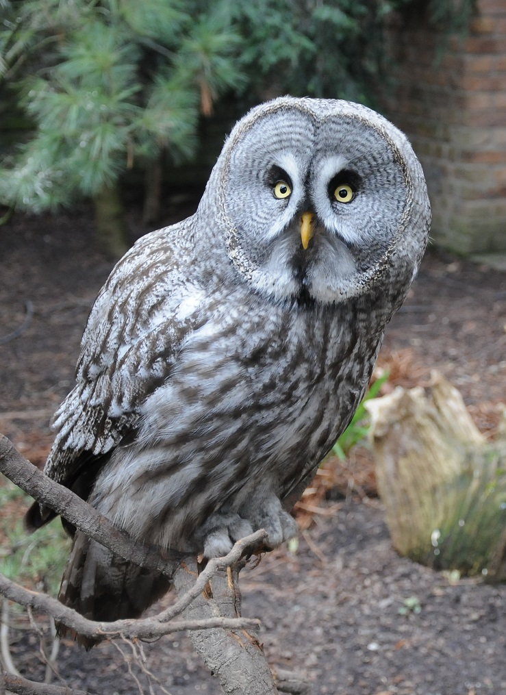 Great Grey Owl on tree