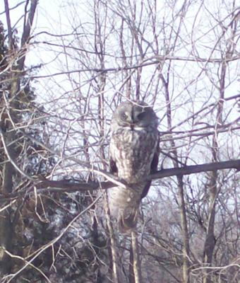 Great Gray Owl, Kingsville, Ontario