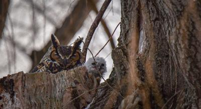 Great Horned owl and owlet in nest in Ontario