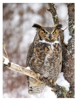 Great Horned Owl in a tree in winter