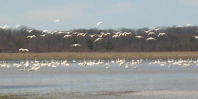 Swans in Grand Bend 2010