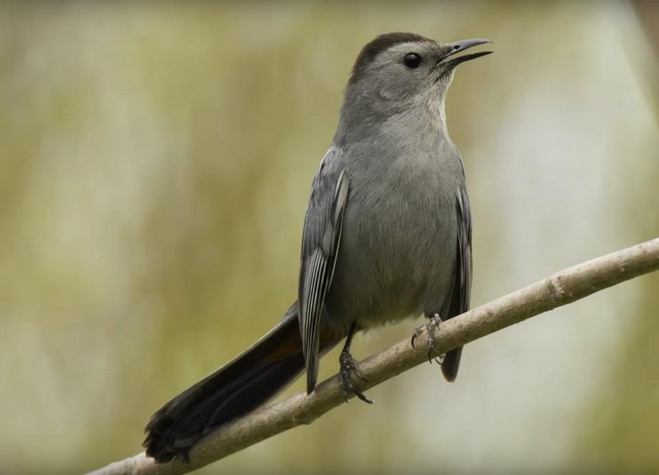 Ontario Catbird