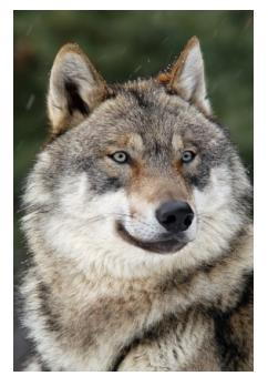 The Grey Wolf - Le loup, Canis Lupus