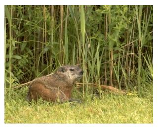 young groundhog with long grass, Ontario