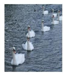 Swans Stratford, Ontario