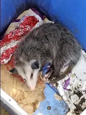 Harmless Pickering Possum Ontario