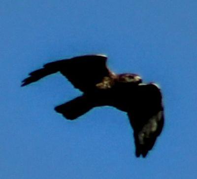 mystery hawk in Bradford