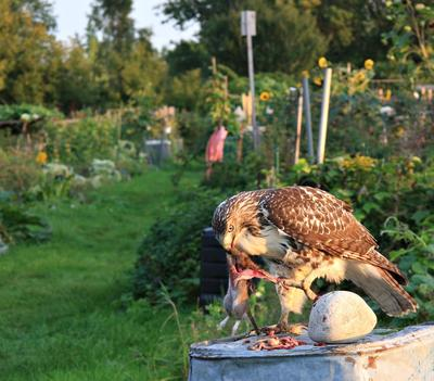 Hawk's dinner
