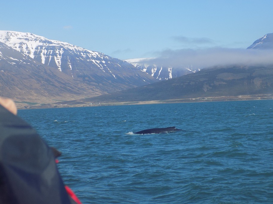 last Whale of the day, Whale Watching in Hauganes, Iceland, mountains and snow in background