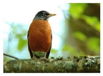 North American Robin