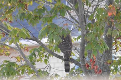 Unknown raptor in Richmond Hill Ontario
