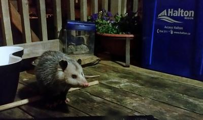 Possum on the porch