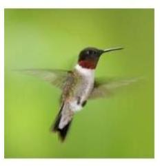 Ruby Throated Hummingbirds, Ontario