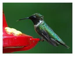 Ruby throated Hummingbird male at the feeder drinking nectar