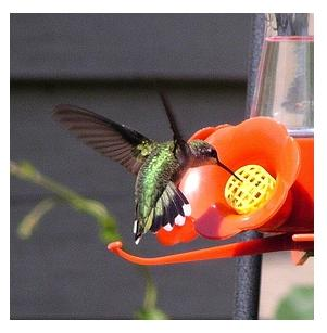 Beautiful iridescent Male Ruby Throated Hummingbird at the birdfeeder