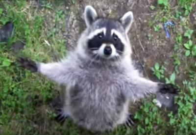 Raccoon sighted in Ontario