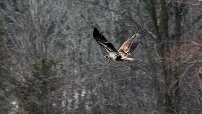 2 yr old Bald Eagle at Wingham