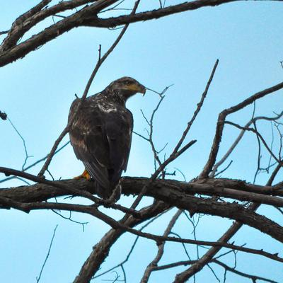 Spotted at dusk perched up on a tree facing east.