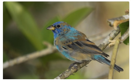 Male indigo bunting losing summer plumage
