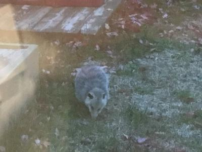 This animal in my backyard