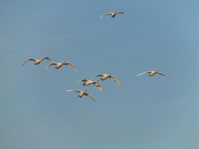 Tundra Swans flying overhead