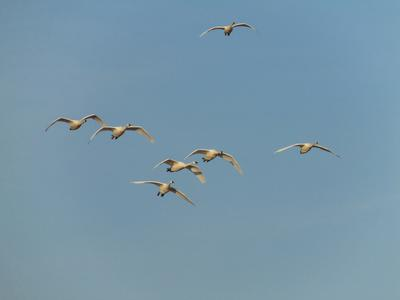 Tundra Swans flying overhead