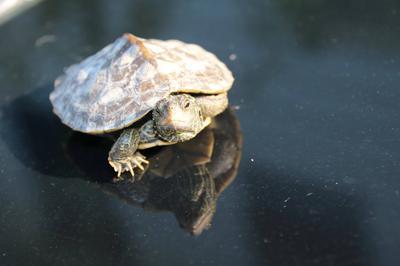 Juvenile Map Turtle