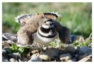 parent killdeer on the nest - le pluvier