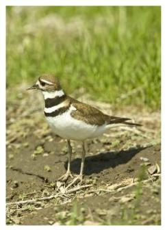 Adult Killdeer - le pluvier with a background of grass and soil