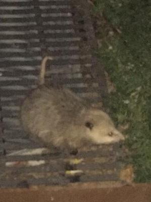 Toronto Possum