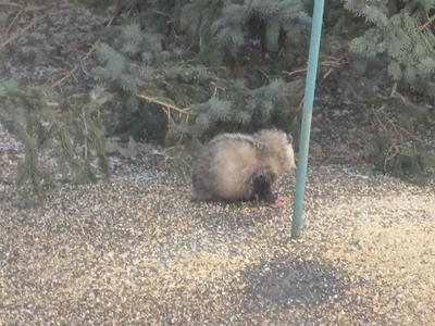 Possum in Kitchener on March 26/14