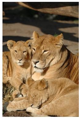 African Lion Safari - Lion