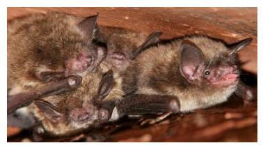 petite chauve-souris brune - little brown bat