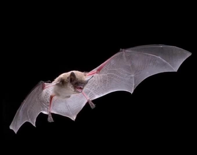 Little Brown Bat in flight against a black background