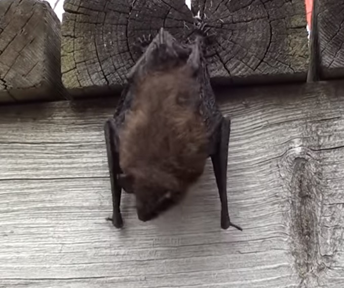 Little brown bat in the day time hanging from a wooden deck
