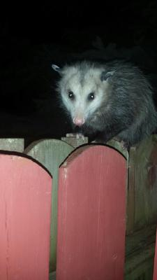 London Possum
