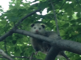 London Possum in the tree