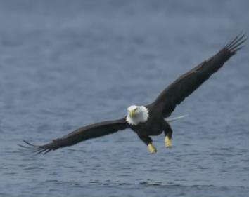 Ontario Bald Eagle sightings